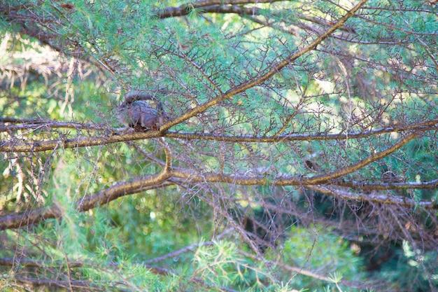 Wiewiórka na drzewie gałęzie drzewa iglastego zielonego, wśród gałęzi rozmazana sylwetka wiewiórki. naturalne tło, pojęcie piękna natureunk w parku miejskim.