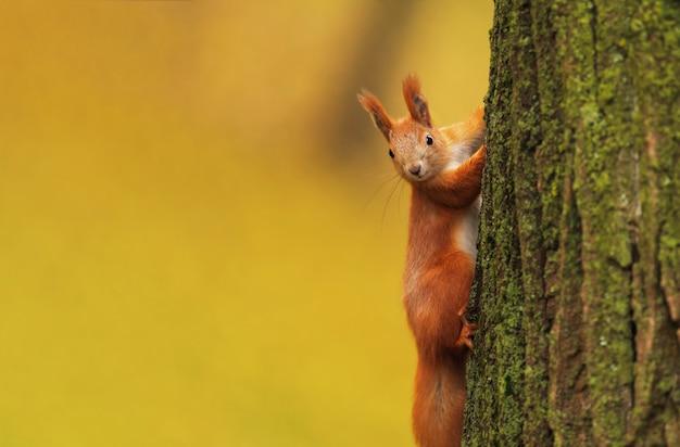 Wiewiórka na drzewie w jesiennym parku na niewyraźne