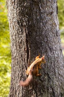 Wiewiórka na drzewie w parku