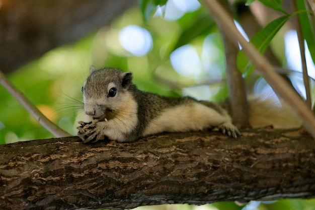 Wiewiórka na drzewie