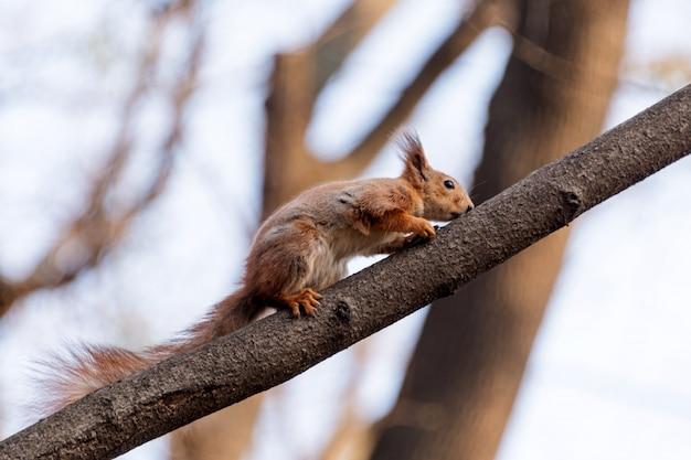 Wiewiórka na gałęzi drzewa. wiewiórka z natury. śliczna wiewiórka na gałąź. portret wiewiórki
