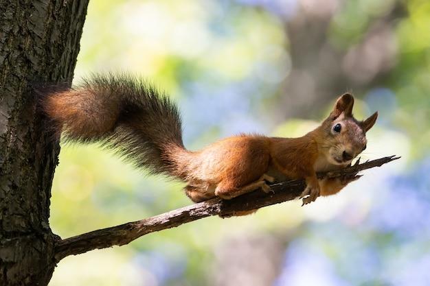 Wiewiórka na gałęzi drzewa