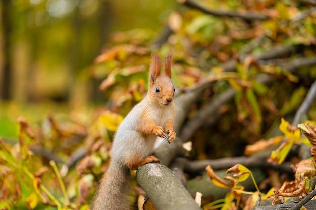 Wiewiórka na gałęzi przetartego drzewa z żółtymi liśćmi w jesiennym parku