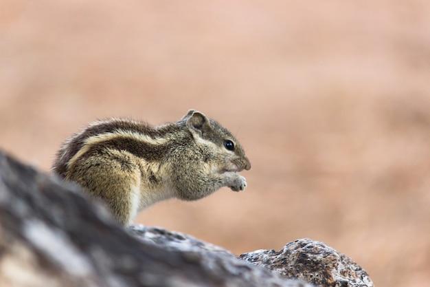 Wiewiórka na pniu drzewa jedząca posiłek