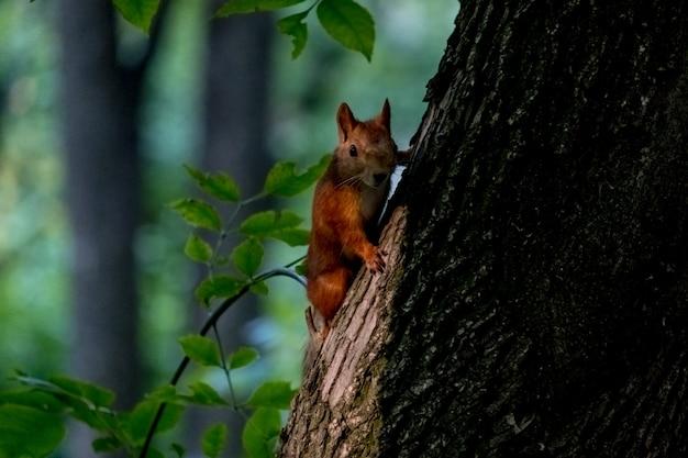 Wiewiórka na pniu drzewa. portret wiewiórki lis siedzi na gałęzi. dzika przyroda miejska. największy gatunek wiewiórki drzewnej w rosji, riazań.