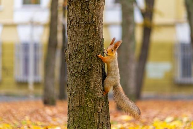Wiewiórka na pniu drzewa wśród żółtych liści jesienią w parku miejskim