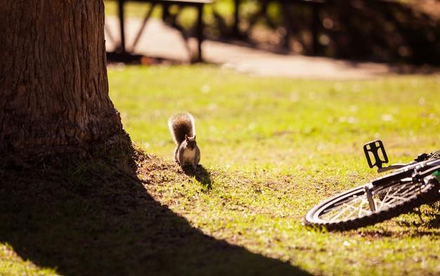 Wiewiórka na rowerze spadła na polu