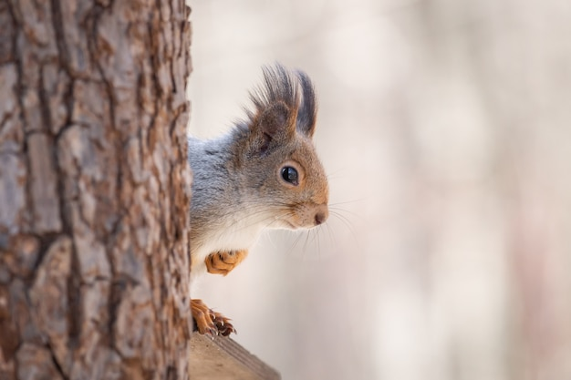 Wiewiórka na wiosnę drzewa