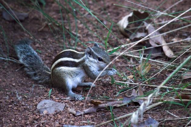 Wiewiórka na ziemi w swoim naturalnym środowisku