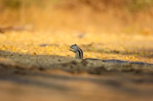 Wiewiórka naziemna w złotym płaszczu, indyjska wiewiórka