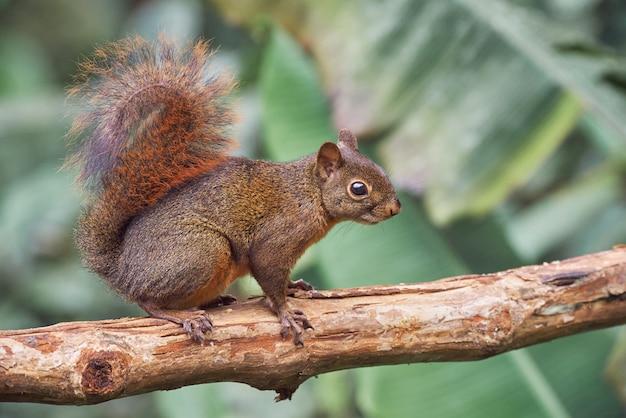 Wiewiórka ostrożnie chodzi po suchym drzewie