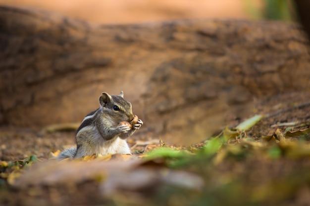 Wiewiórka palmowa lub gryzoń lub znana również jako wiewiórka stojąca mocno na pniu drzewa