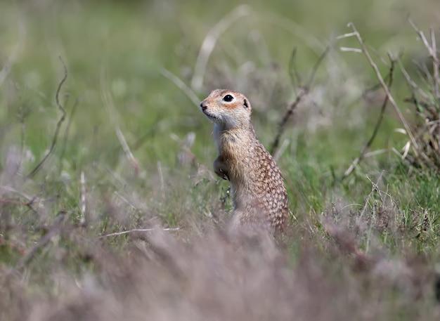 Wiewiórka plamista stoi w śmiesznej pozie i chowa się w gęstej, zeszłorocznej trawie