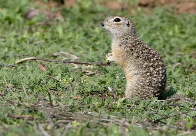 Wiewiórka pstrokata lub suseł plamisty (spermophilus suslicus) na ziemi.