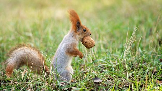 Wiewiórka ruda stoi na ziemi z orzechami w ustach