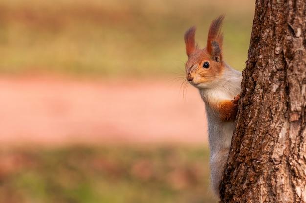 Wiewiórka ruda wygląda zza drzewa.