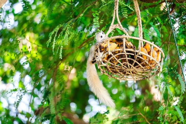 Wiewiórka ścieka owoc w koszyku wiszącym na drzewie