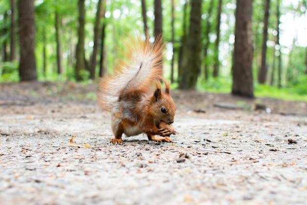 Wiewiórka siedzi, jedzenie orzecha w lesie