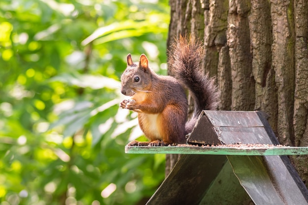 Wiewiórka siedzi na korycie