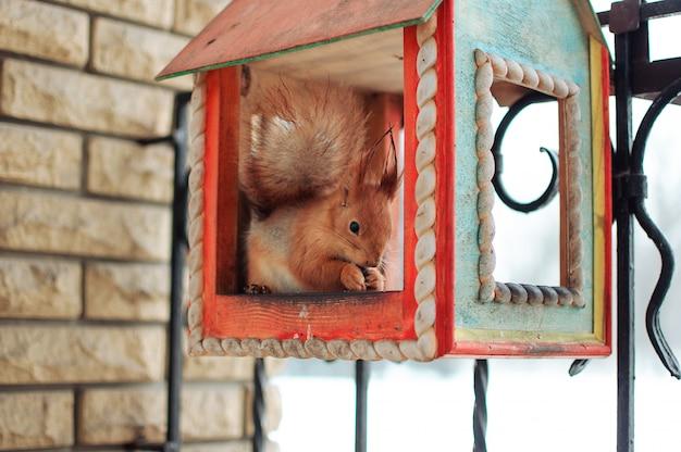 Wiewiórka siedzi w koryta karmienia jedzenia orzechów