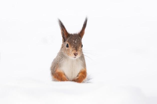 Wiewiórka śnieg zima