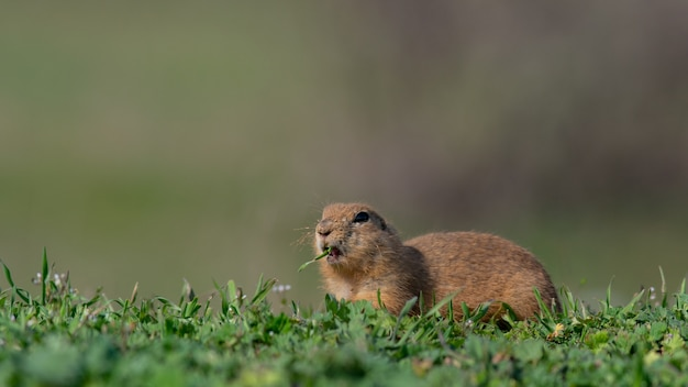 Wiewiórka spermophilus pygmaeus zjada trawę na łące.