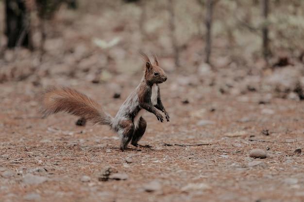 Wiewiórka stoi na dwóch tylnych łapach. zwierzę w lesie jesienią.