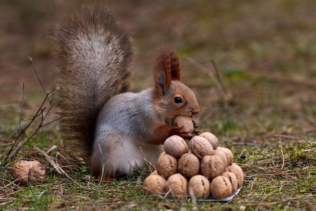 Wiewiórka stoi na ziemi przed stosem orzechów.