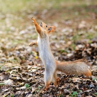 Wiewiórka stoi na ziemi z uniesionymi łapami