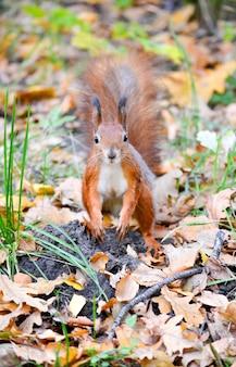 Wiewiórka stojąca na jesiennych suchych liściach z brązową sierścią i białą klatką piersiową