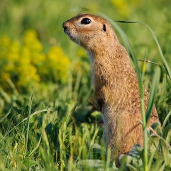 Wiewiórka stojąca w trawie. ścieśniać