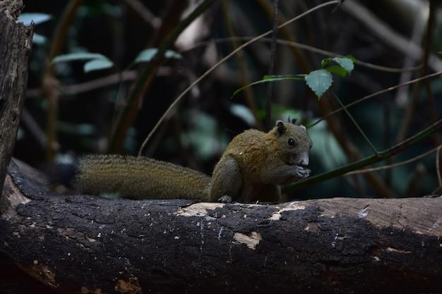 Wiewiórka szara w lesie