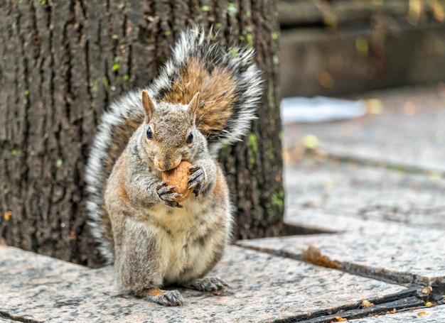 Wiewiórka szara zjada orzecha włoskiego na trinity square w toronto - kanada
