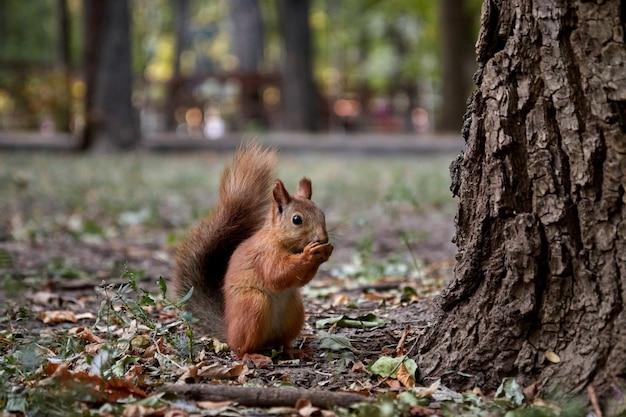 Wiewiórka szuka orzechów i je w lesie na ziemi, puszysty ogon, jesień, opadłe liście