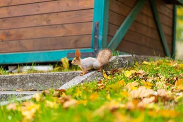 Wiewiórka szuka pożywienia wśród opadłych jesienią żółtych liści w miejskim parku