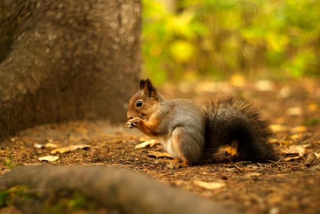 Wiewiórka w jesiennym lesie siada na ziemi przy pniu drzewa, coś je i uśmiecha się