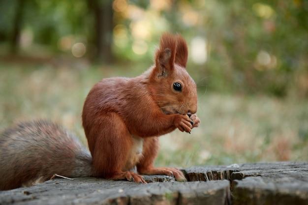 Wiewiórka w lesie na pniu zjada orzech, puszysty ogon, jesień, opadłe liście