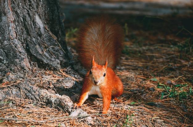 Wiewiórka w lesie pod drzewem