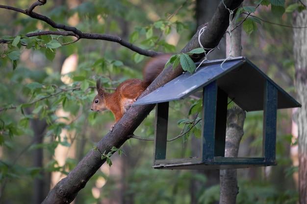Wiewiórka w lesie przy karmniku dla ptaków