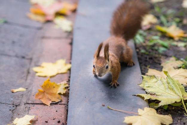Wiewiórka w parku jesień