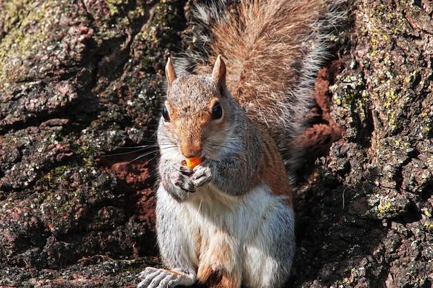 Wiewiórka w waszyngtonie, stany zjednoczone