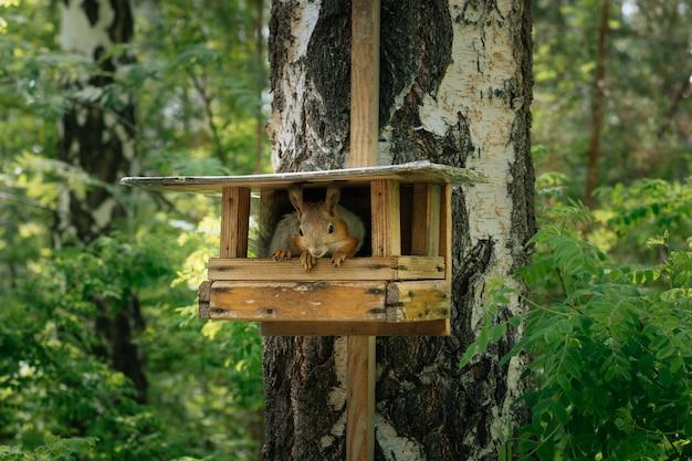 Wiewiórka w zielonym parku na brzozie