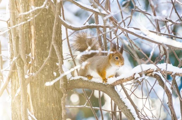 Wiewiórka w zimie na gałęziach w lesie.
