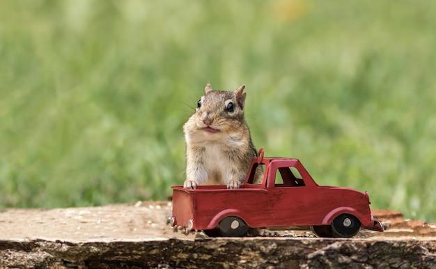 Wiewiórka wypycha czeki z orzeszkami ziemnymi z czerwonej ciężarówki na sezon jesienny