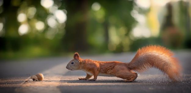 Wiewiórka z nakrętką w parku