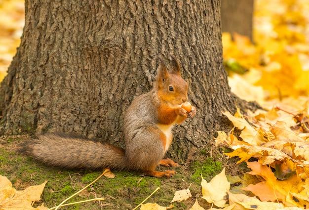 Wiewiórka z nakrętką