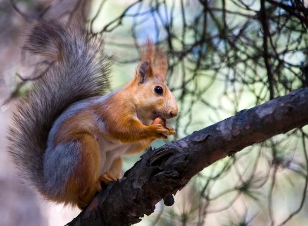 Wiewiórka z orzechami