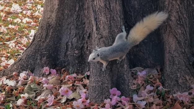 Wiewiórka z różowym kwiatem tabebuia rosea