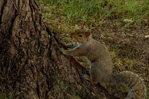 Wiewiórka zaczyna wspinać się na drzewo w parku