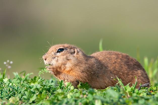 Wiewiórka ziemna (spermophilus pygmaeus) stoi w trawie z liściem w ustach.